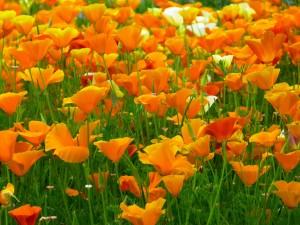 fleurs-pavot-orange-nature-flore-images-photos-gratuites-libres-de-droits-1560x1170